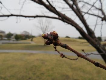 BL_桜の芽.jpg